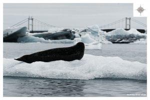 Seehund auf dem Jökulsárlón