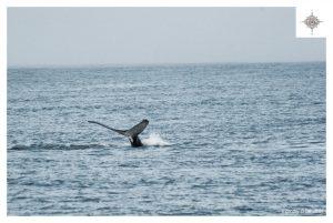 Buckelwal in der Bucht Skjálfandi