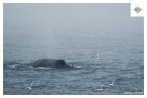 Wal beim Auftauchen